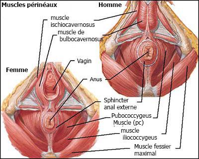 kegel-muscles